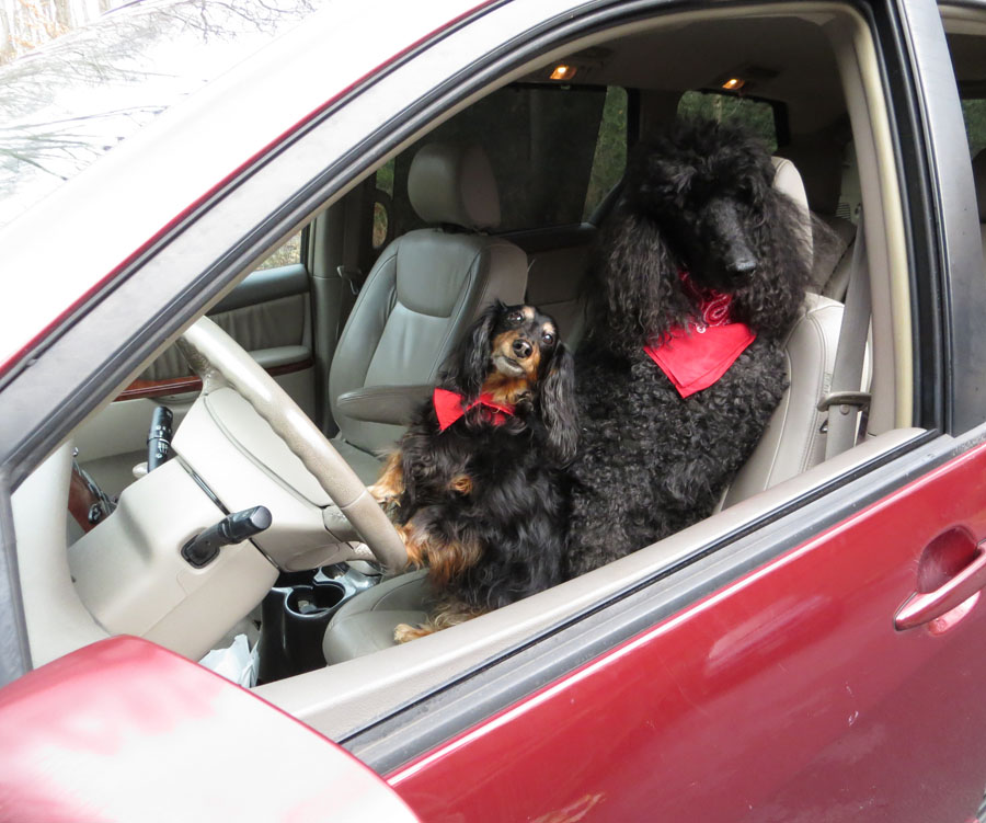 standard poodle, longhaired dachshund, Lynn Franklin, driving dogs