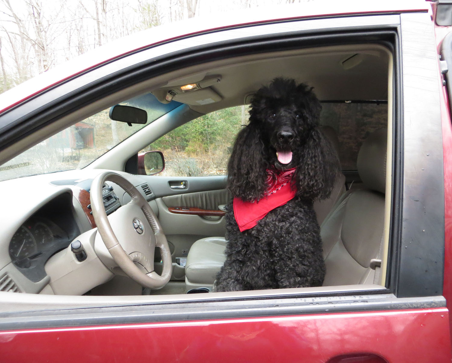 driving dogs, Lynn Franklin, jeweler's granddaughter, poodle, dachshund